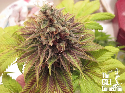 The Cali Connection Chem Valley Kush