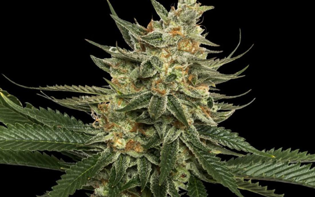 Tangie DNA Genetics najlepsza odmiana marihuany