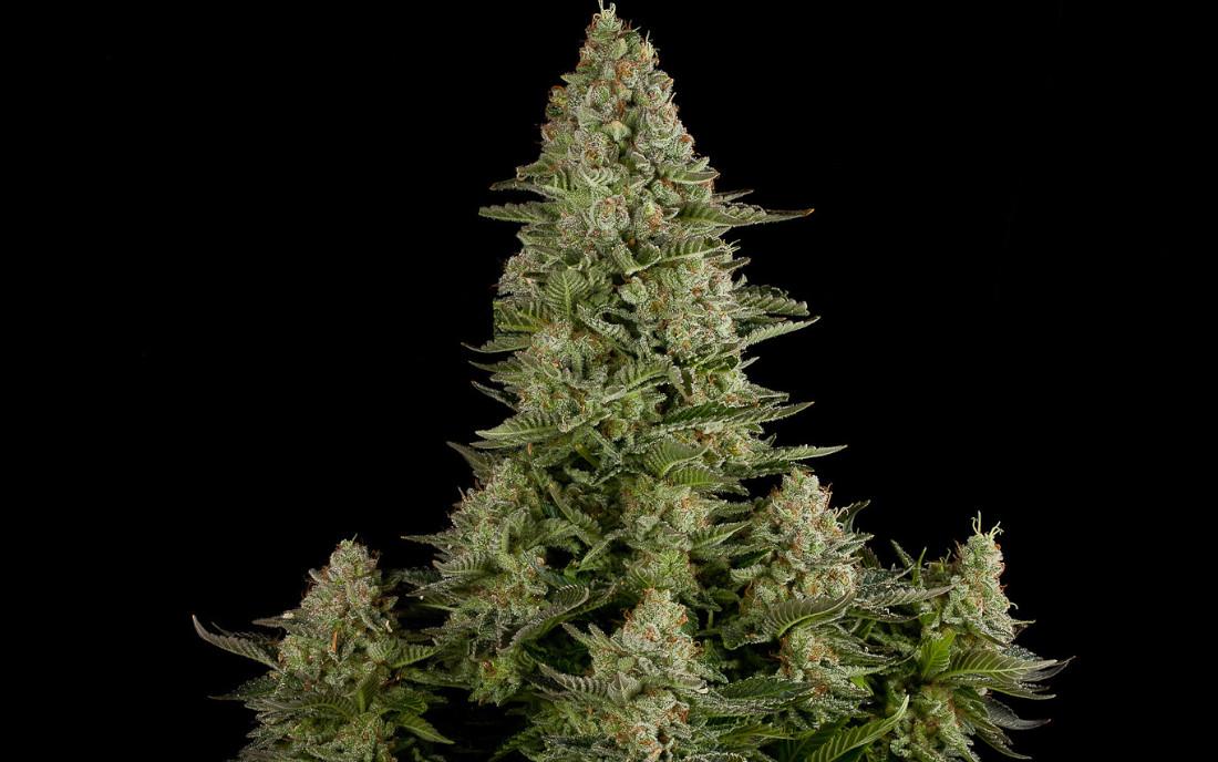 White Widow odmiana marihuany Dinafem