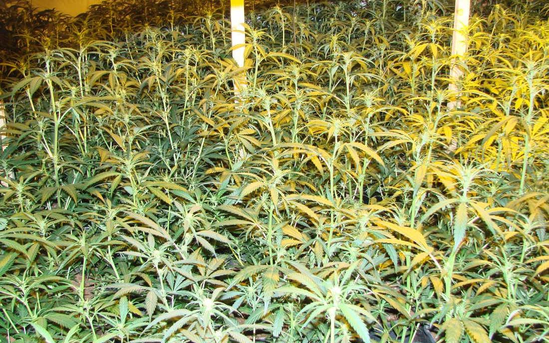 Growroom pełen odmiany Amnesia Haze
