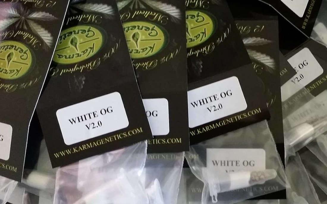 Karma Genetics odmiana White OG