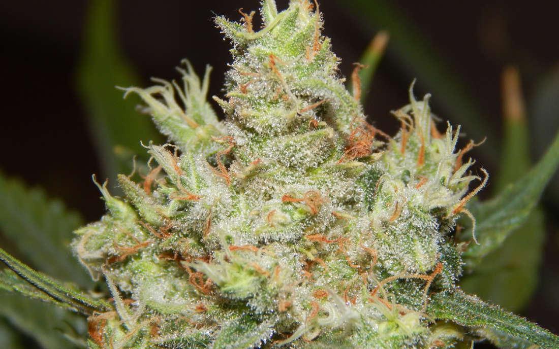 LSD Barneys Farm nasiona marihuany