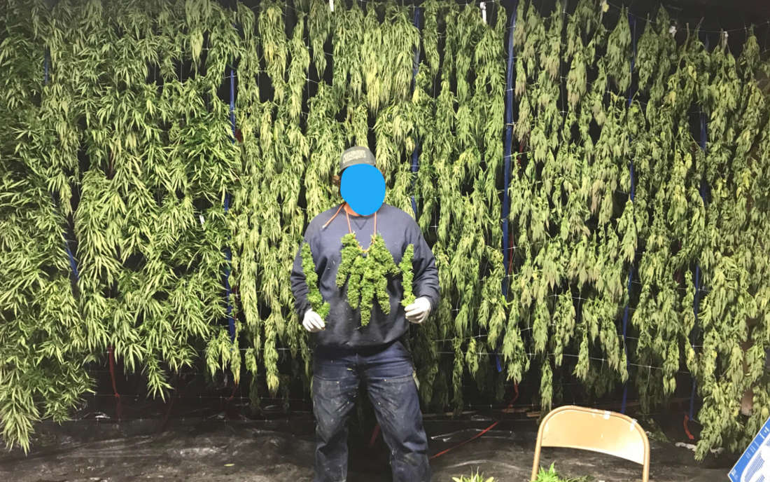 Blue Dream duży plon marihuana