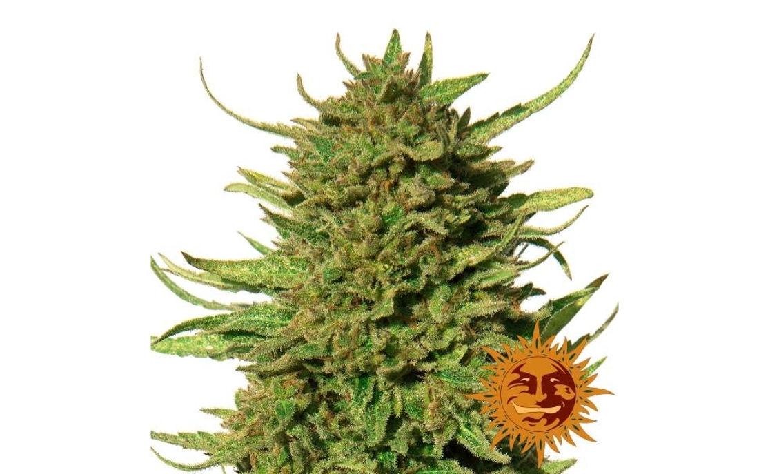 Critical Kush nasiona feminizowane marihuany