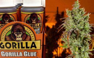 Gorilla Glue – najbardziej lepka odmiana
