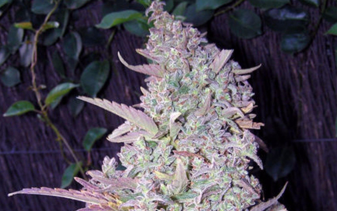 Maroc Female Seeds odmiana outdoor