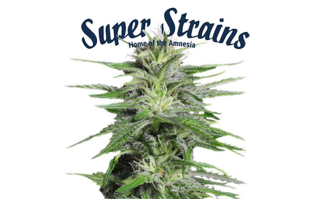 Nasiona marihuany feminizowane Super Strains