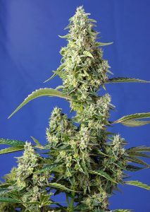 Sweet Seeds Gorilla Girl XL Auto®