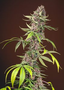 Sweet Seeds Red Mandarine F1 Fast Version®