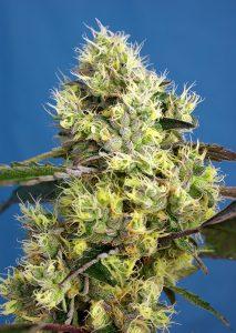 Sweet Seeds Sweet Gelato Auto