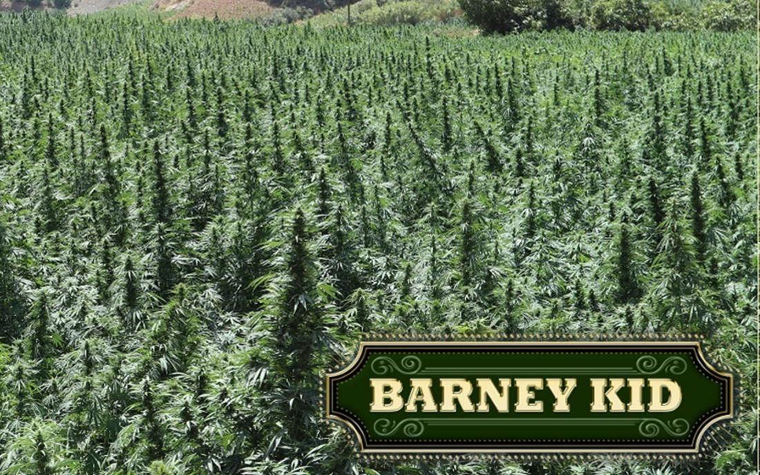 Barney Kid - odmiana marihuany
