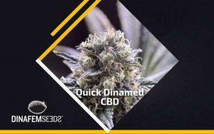 Quick Dinamed CBD – nowa odmiana od Dinafem
