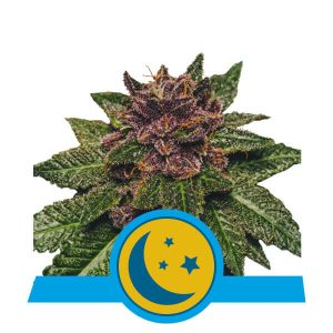 Royal Queen Seeds Purplematic Cbd