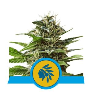 Royal Queen Seeds Tatanka Pure Cbd