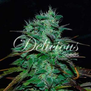 Delicious Seeds Chocobang