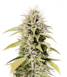 Seed Stockers Cookies and Cream