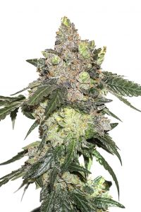 Seed Stockers Girl Scout Cookies