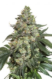 Seed Stockers Girl Scout Cookies Auto