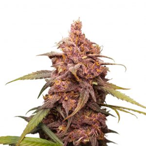 Seed Stockers Purple Punch