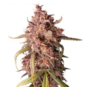 Seed Stockers Purple Punch Auto
