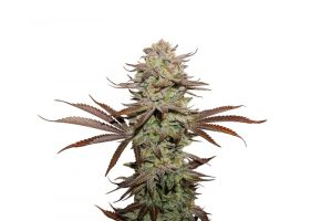 Seed Stockers Sticky Fingers Auto