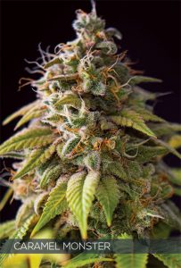 Vision Seeds Caramel Monster