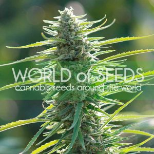 World of Seeds Colombian Gold