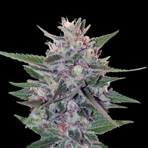 Ace Seeds Hashplant S1