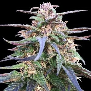 Ace Seeds Zamal Bliss
