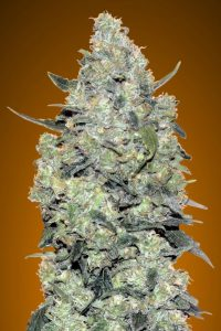 Advanced Seeds Auto Critical Mass