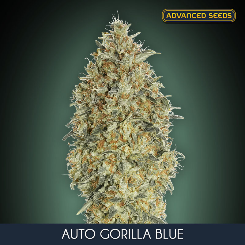 Advanced Seeds Auto Gorilla Blue