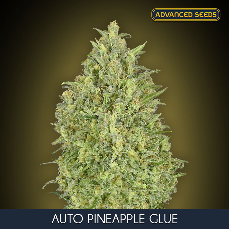 Advanced Seeds Auto Pineapple Glue