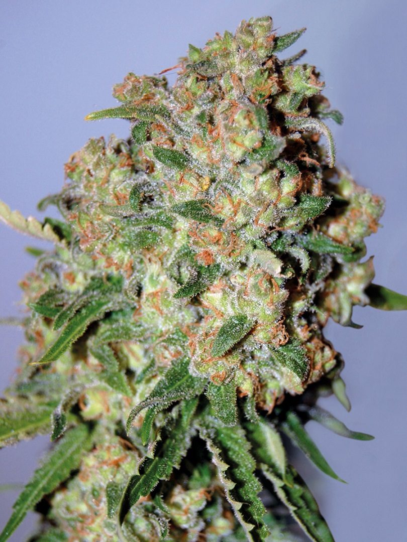 Advanced Seeds Feminized Collection #2
