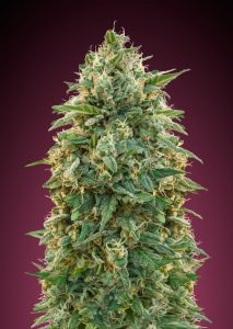 Advanced Seeds Feminized Collection #5