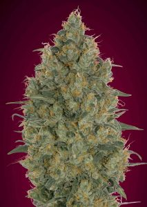 Advanced Seeds Feminized Collection #6