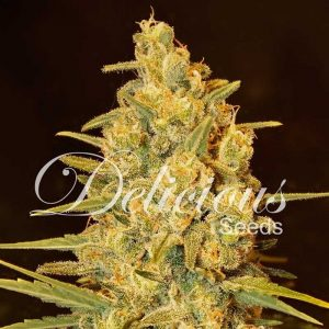 Delicious Seeds Critical Sensi Star Early Version