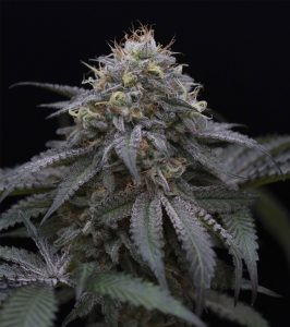 Humboldt Seed Organization Sugar Breath