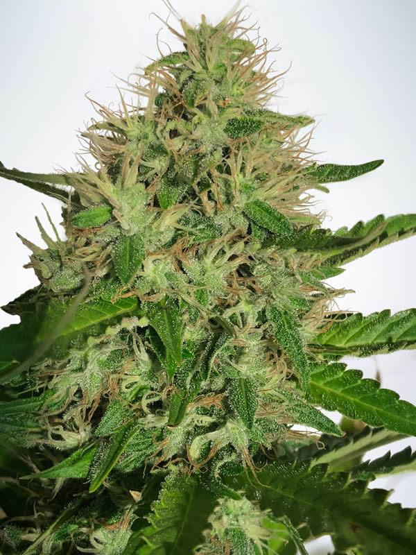 Ministry of Cannabis Cannabis Light