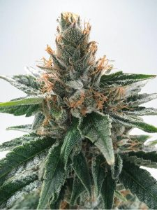 Ministry of Cannabis Gods Glue