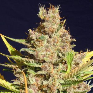 Original Sensible Seeds Alien Gorilla