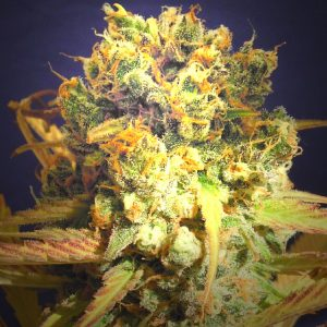 Original Sensible Seeds Dr. Bruce Banner