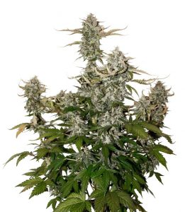 Seed Stockers O.G. Candy Dawg Kush Auto