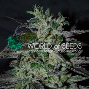 World of Seeds Strawberry Blue Early Harvest