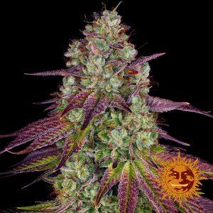 Barney's Farm Mimosa