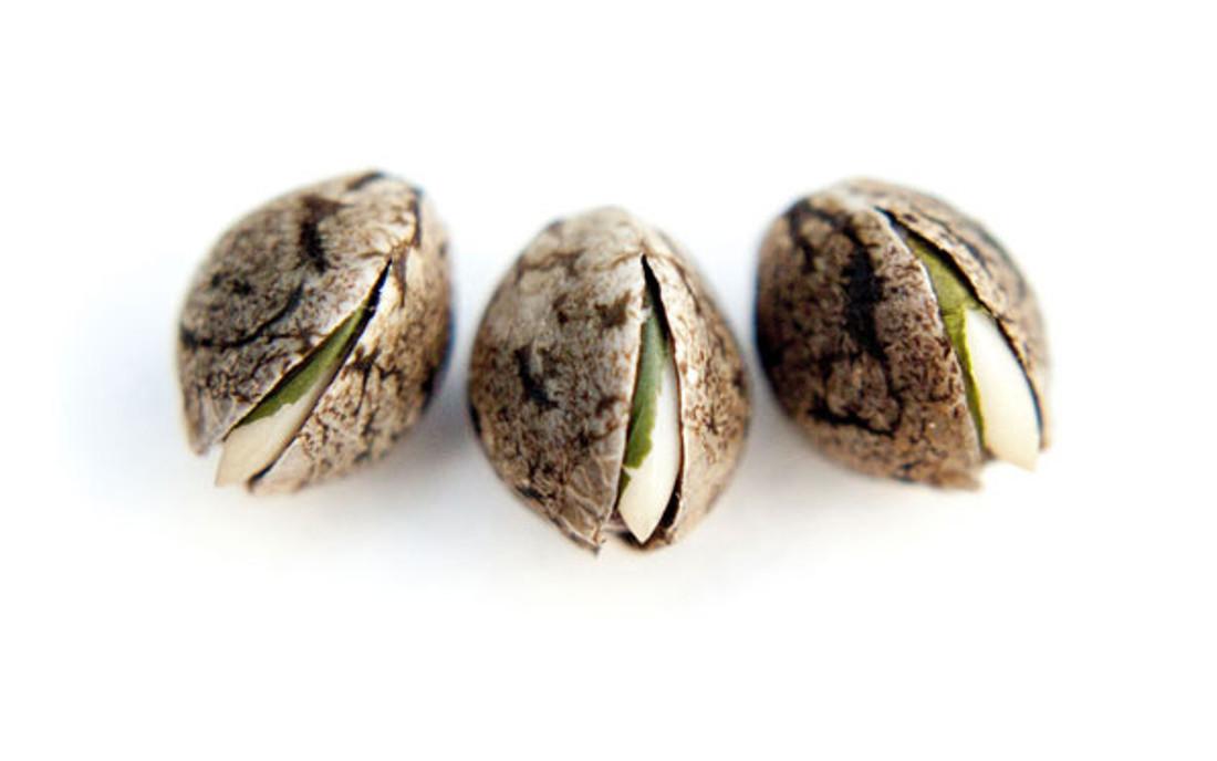 Duże nasiona konopi