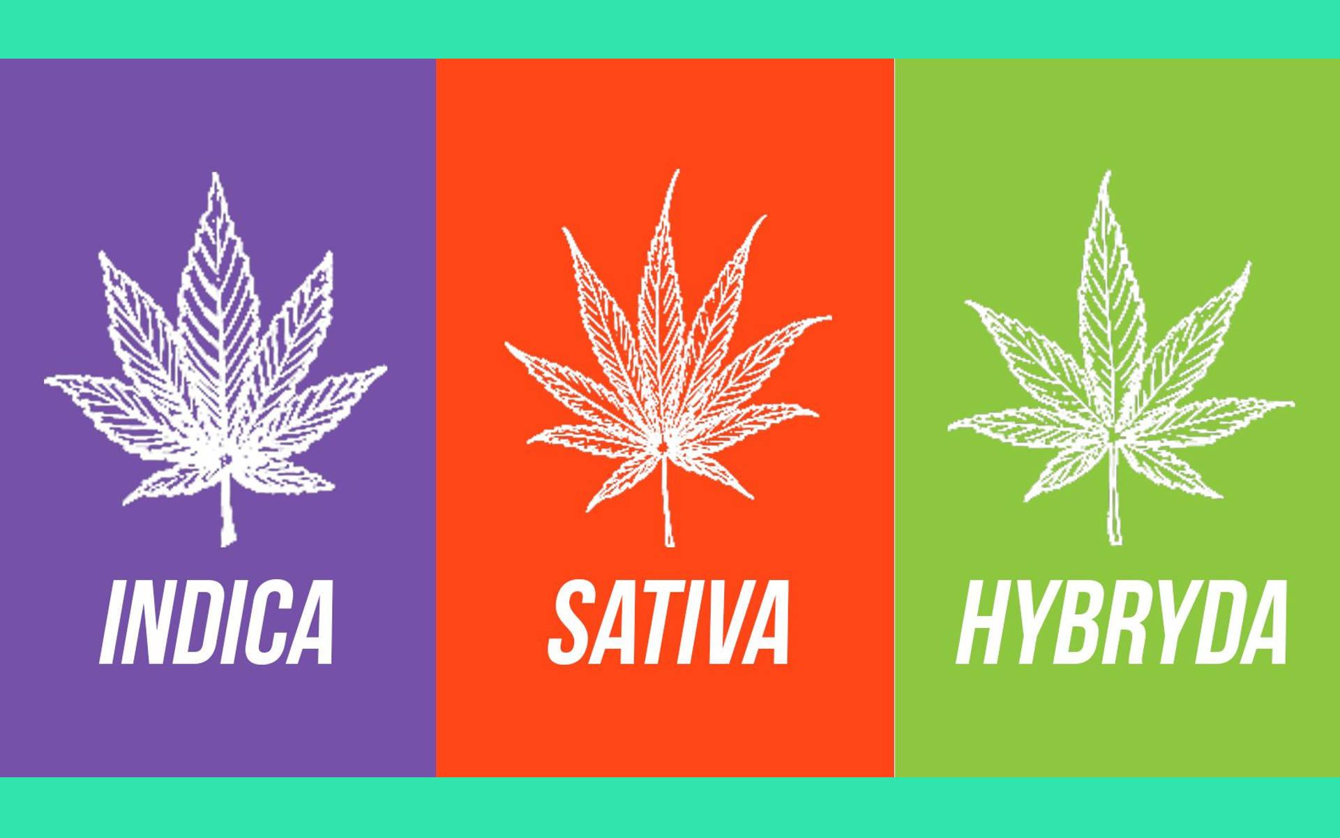 Indica vs. Sativa vs. Hybryda. Jakie efekty powodują różne odmiany konopi?