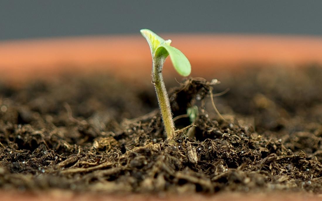 Kiełkująca roślina konopi