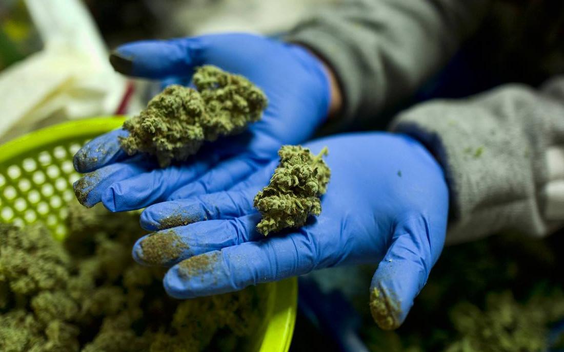 marihuana z THC