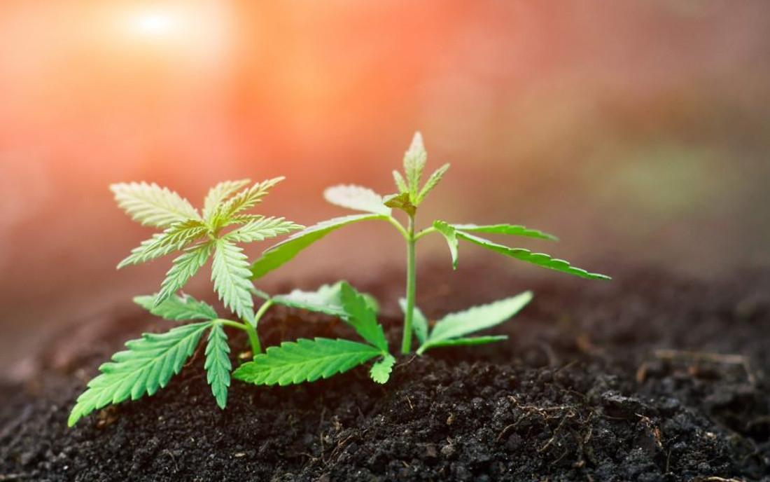 Roślina konopi z nasiona hybrydowego