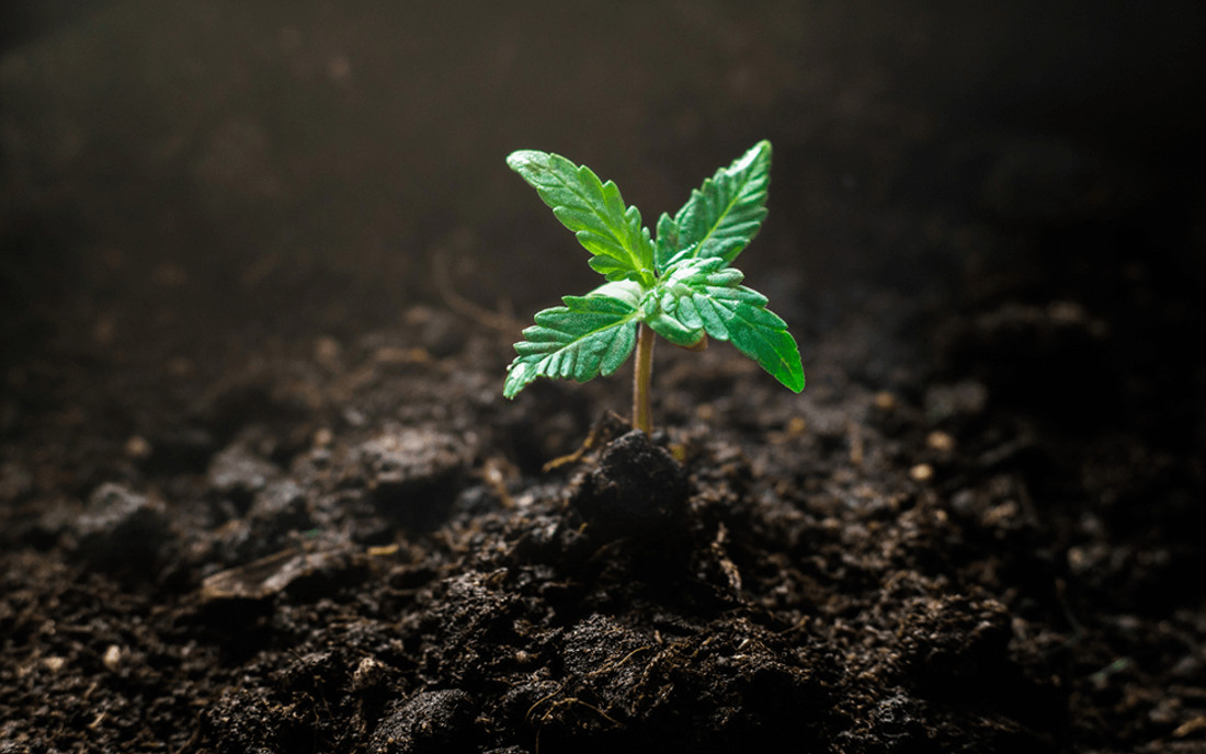 Roślina konopi hybrydowa
